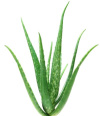 Aloe vera for a soothing application